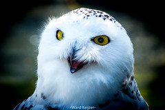 Snow Owl (wardkeijzer_107) Tags: sneeuwuil snowowl wildlands wildlife bokeh portrait nikon d7200 200mm eyes feathers looking