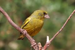 IMG_6299@ (gomesd1962) Tags: wildlife birds bird arrábida setúbal portugal