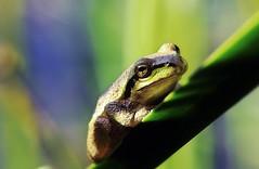 Frog (TJ Gehling) Tags: amphibian frog chorusfrog treefrog pacificchorusfrog pacifictreefrog pseudacris pseudacrisregilla pond canyontrailpark elcerrito