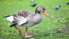 angry bird (evks1912) Tags: bird nature animals goose grey green alster hamburg germany