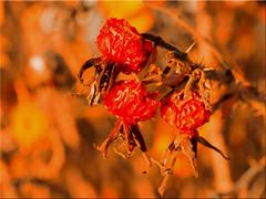 Rosehip in autumn (Ostseetroll) Tags: boltenhagen deu deutschland geo:lat=5397407986 geo:lon=1125220059 geotagged mecklenburgvorpommern tarnewitz rosehip autumn olympus m10markii herbst hagebutten