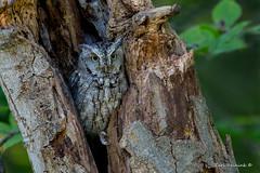 What? (Earl Reinink) Tags: bird fall autumn animal wildlife nature outside outdoors earl reinink earlreinink owl raptor predator easternscreechowl oiodtuedza what tree forest wood