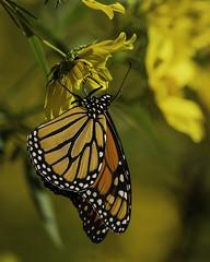 MonarchButterfly_SAF9743 (sara97) Tags: danausplexippus butterfly copyright©2018saraannefinke insect missouri monarch monarchbutterfly nature photobysaraannefinke pollinator saintlouis towergrovepark urbanpark