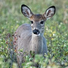 Yearling Munching Leaves (dcstep) Tags: dsc0185dxo deer whitetaildeer fawn cherrycreekstatepark colorado usa sonya9 fe100400mmf4556gmoss fe14xteleconverter allrightsreserved copyright2018davidcstephens dxophotolab