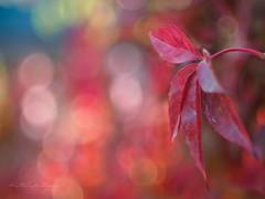 Autumn lights (1) (Karsten Gieselmann) Tags: apertureblending blätter bokeh czjpancolar50mmf18 dof em5markii farbe herbst jahreszeiten microfourthirds olympus rot schärfentiefe vintagelens autumn color fall kgiesel leaf leaves m43 mft red seasons