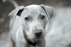 On the road (Anna Peterson) Tags: pentax pentaxfa43f19ltd pentaxk3 puppy monochrome pitbull americanpitbullterrier rescuedog