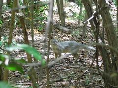 Fox running (ntnlsk) Tags: fox animal forest rainforest animalportrait nature zorro mexico yucatan méxico yucatán wild