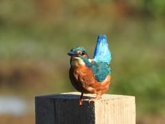 Kingfisher (davidhampton1066) Tags: kingfisher bird