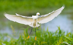 Snowy Dance (agnish.dey) Tags: bird birding birdwatching bokeh green grassland wetland white egret snowyegret wingspan wildlife wings naturallight nature naturephotograph naturethroughthelens nikon coth florida water birdsinflight d500 animalplanet