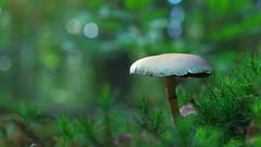 Hypholoma Fasciculare (Visual Stripes) Tags: fungi fungus mushroom moss nature forest autumn bokeh bokehlicious 35mmmacro mzuiko wideopen panasoniclumixg2 microfourthirds mft m43