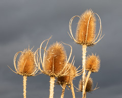 Golden Teasels (Helmuth of Boskone) Tags: brandonmarsh october autumn naturereserve sky sunlight teasel coventry england unitedkingdom gb