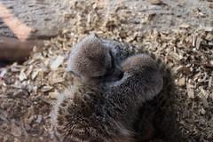 Sibling Love (Danielle Bea Photography) Tags: animal meerkat australia sydney zoo macro nature wildlife canon photography love pair bond sibling safari summer