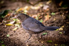 Female blackbird 2 (ArrrV) Tags: female blackbird nature wildlife garden autumn bird