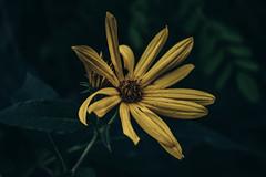 Dark nature. (manuelbeinat) Tags: darktones dark darkvibes darkness flower flowers mood moodphotography nature naturephotography