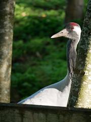 Crane 2 (AN07) Tags: slimbridge crane