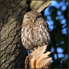 Little Owl (image 1 of 3) (Full Moon Images) Tags: wildlife nature cambridgeshire fens bird birdofprey little owl