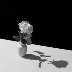 Remembering Horst (Shumilinus) Tags: 2015 85mmf18 blackwhite nikond300s stilllife rose flower blackandwhite bw