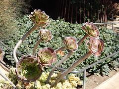 Getty Plant (ups travel pics 4u) Tags: getty unusual plant garden closup