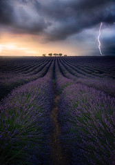 Valensole STORM (Nico Rinaldi) Tags: valensole provence france provenza francia lavanda lavander purple champ blé field allaperto sun sanset sky clouds light tree trees flower flowers fiori nikon photonikon nikonphoto photoshop profoto superfototdigital flickraward flickr nikonflickraward sigma digitalphoto digitalcamera largaexposición longexposure paesaggio natura fineart art creative majesty mejoresfotos fantastic amazing naturale wilderness natural geology landscape paesaggiophotooftheday followme flikerlike workshops nicorinaldi nickrinaldi nicorinaldinet vegetazione vegetation lightning fulmine temporale thunderstorm thunderclouds nuvoletemporalesche