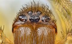 house spider (brianjobson) Tags: housespider arachnid extrememacro macro dofstacking focusstacking spider eyes arthropod