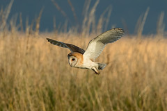 Barn Owl (Simon Stobart - Back But Way Behind) Tags: barn owl tyto alba flying north east england uk grass ngc naturethroughthelens