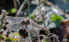 0T4A9834 (2) (Alinbidford) Tags: alancurtis brandonmarsh dragonfly nature wildlife