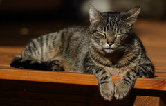The Last Sunrays Of September (AnyMotion) Tags: nelli terrace terasse sunbath sonnenbad pet cat cats katze katzen animals tiere 2018 anymotion tabby getigert atigrada félin chat gata 7d2 canoneos7dmarkii autumn fall herbst automne otoño