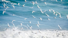 Strength in Numbers (Stefan Marks) Tags: tasmansea animal bird flying nature ocean outdoor tern wave whitefrontedtern aucklandwaitakere northisland newzealand