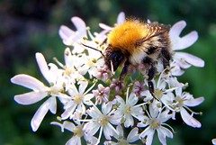 Common Carder Bee (ERIK THE CAT Struggling to keep up) Tags: bees littleheath toft staffordshire ngc npc