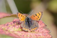 Small Copper. (world_window) Tags: lycaenaphlaeas smallcopper