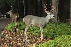 Two Bucks (qorp38) Tags: deer bucks