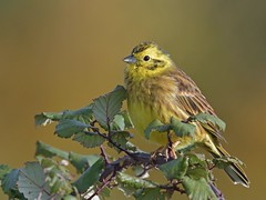Yellowhammer (KHR Images) Tags: yellowhammer emberizacitrinella wild bird bunting fendraytonlakes cambridgeshire fens rspb eastanglia wildlife nature nikon d500 kevinrobson khrimages