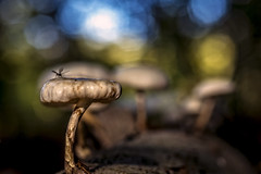 The fly (Wim van de Meerendonk, loving nature) Tags: autumn mushroom insect nature macro lage vuursche forest bokeh wimvandem animal blue contrast light nederland netherlands outdoors outdoor provincieutrecht sony scenic tree trees thenetherlands utrecht abigfave