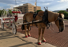 Horse with Fabulous Nails (cowyeow) Tags: oklahomacity usa oklahoma midwest flamboyant america bricktown chickasaw horse carriage travel street toenails red redtoenails hooves