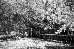 Kodak Tri-X // Leica M5 (The 69th Dimension) Tags: film filmphotography 35mm fall autumn autumnleaves