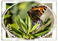 Butterfly at lunch (Audrey A Jackson) Tags: canon60d butterfly flower colour nature macro