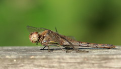 Common Darter (female) (ctrolleneos) Tags: canon80d 100400 dragonfly insect commondarter swanlake yateley hampshire