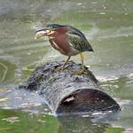 Green Heron thumbnail
