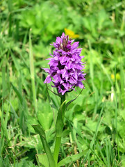 050618#034 Rufford Hall Northern Marsh Orchid (Steveox55) Tags: lancashire rufford wildflower