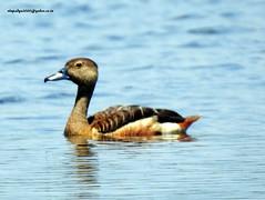 Lesser Whistling Duck (Dendrocygna javanica) (vlupadya) Tags: greatnature animal aves fauna indianbirds lesser whistling duck dendrocygna kundapura karnataka