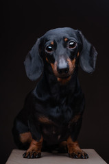 Beatrice (Shumilinus) Tags: 85mmf18 animals dogs nikond300s portrait 2015 studiophoto lowkey dachshunds