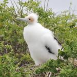 Great Frigatebird chick thumbnail