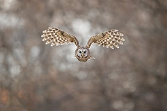 Flight Pattern by Scott Suriano (Maryland DNR) Tags: raptors birds birdsofprey photocontest 2018 owl barredowl flight soar baltimore