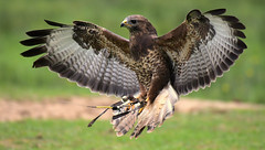 Wings II (Nephentes Phinena ☮) Tags: nikond500 sigma50500mmf463 wildparkeekholt commonbuzzard mäusebussard falknerei falconry
