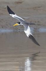 Large-Billed Tern at Pacaya-Samiria Reserve, Amazon basin, Peru (Michael (Bluestar Photography) Norton) Tags: largebilledtern tern flight nature peru amazon river ornithology canon7dmarkii sigma150600contemporary