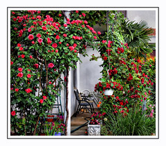 Rose Garden (Jocelyn777) Tags: flowers courtyard patio roses houses buildings plants foliage trebinje bosniaandherzegovina balkans travel textured