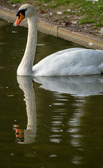 Schwan (KaAuenwasser83) Tags: schwan spiegelung vogel weis wasser see