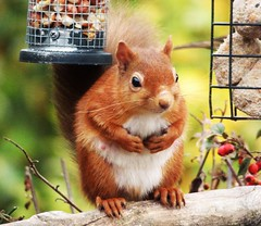 Back for Peanuts..x (Lisa@Lethen) Tags: red squirrel scotland rare cute cyril nature wildlife garden bird feeder peanuts