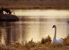 SwanLake01_7-5 (minipix.se) Tags: swan sunset lake waterscape autumn fall
