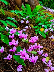 purple flowers (ekelly80) Tags: washington august2018 summer bloedelreserve bainbridgeisland green gardens walk trail purple flowers tiny little